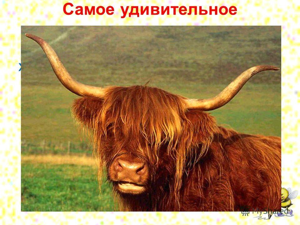 Самое удивительное животное - это як. Он имеет голову коровы, хвост лошади, скелет бизона, шерсть козла, рога быка и плюс ко всему еще хрюкает, как свинья.