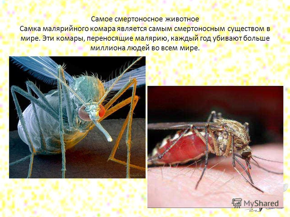 Самое смертоносное животное Самка малярийного комара является самым смертоносным существом в мире. Эти комары, переносящие малярию, каждый год убивают больше миллиона людей во всем мире.