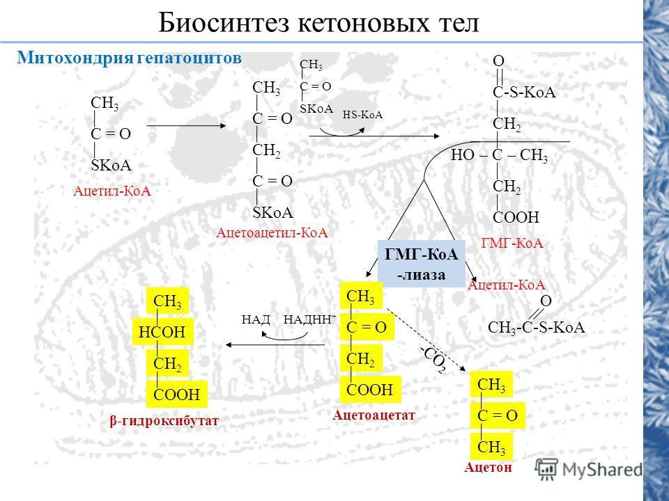 Митохондрия гепатоцитов Биосинтез кетоновых тел СН 3 С = О SKoA Ацетил-КоА СН 3 С = О СН 2 С = О SKoA Ацетоацетил-КоА СН 3 С = О SKoA HS-KoA О C-S-KoA СН 2 HO – C – CH 3 СН 2 СOOН ГМГ-КоА СН 3 -С-S-KoA О Ацетил-КоА ГМГ-КоА -лиаза СН 3 С = О СН 2 СООН