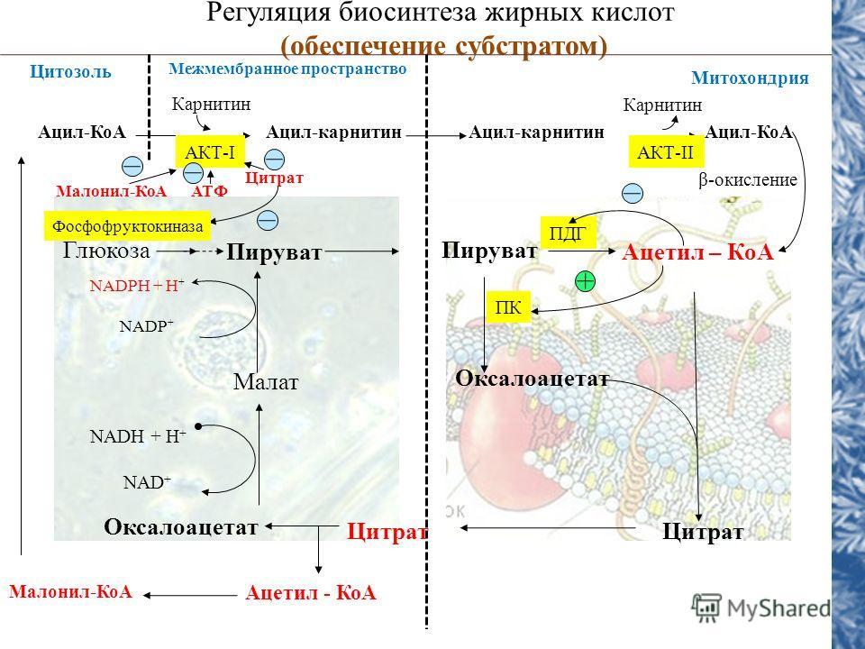 NADH + H + NAD + Регуляция биосинтеза жирных кислот (обеспечение субстратом) Цитозоль Глюкоза Пируват Ацетил – КоА Малат Оксалоацетат Цитрат Ацетил - КоА Оксалоацетат NADPH + H + NADP + Ацил-КоААцил-карнитин Ацил-КоА Карнитин АКТ-I Цитрат Фосфофрукто