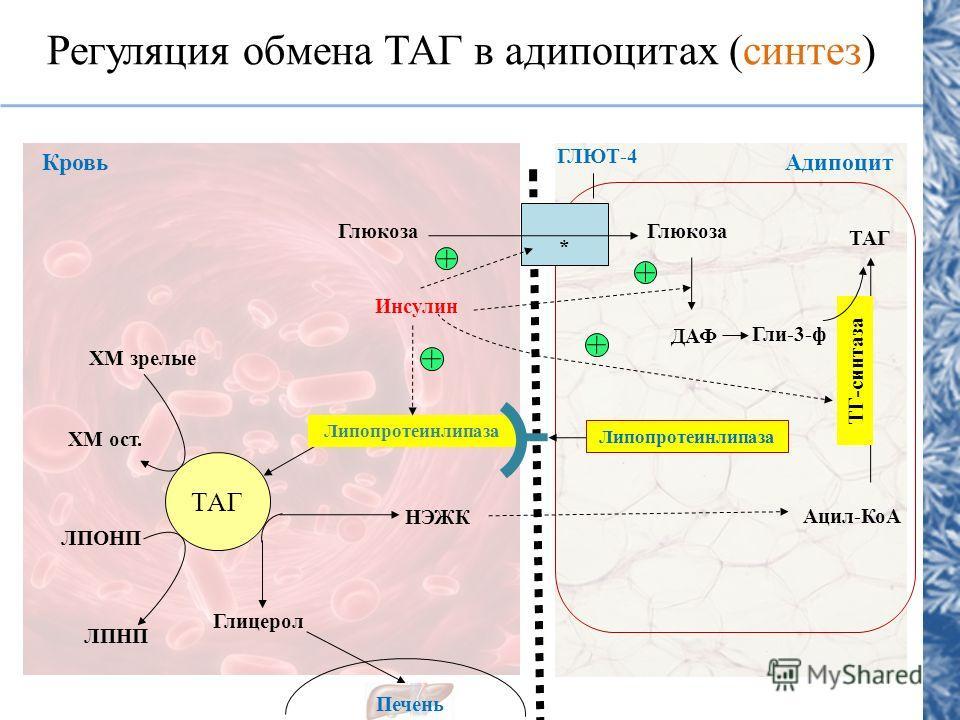 Регуляция обмена ТАГ в адипоцитах (синтез) ТАГ Липопротеинлипаза НЭЖК Глицерол Печень ЛПОНП ЛПНП ХМ зрелые ХМ ост. Инсулин Глюкоза ДАФ Гли-3-ф Липопротеинлипаза ТАГ Ацил-КоА ГЛЮТ-4 КровьАдипоцит * ТГ-синтаза