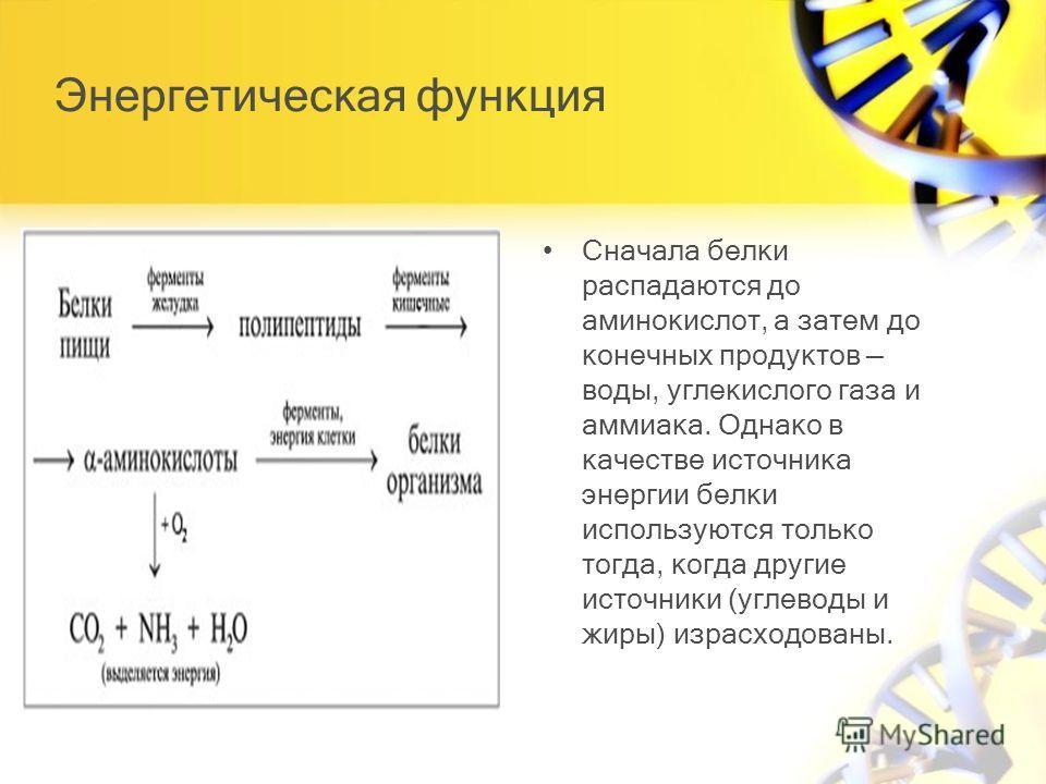 Энергетическая функция Сначала белки распадаются до аминокислот, а затем до конечных продуктов воды, углекислого газа и аммиака. Однако в качестве источника энергии белки используются только тогда, когда другие источники (углеводы и жиры) израсходова