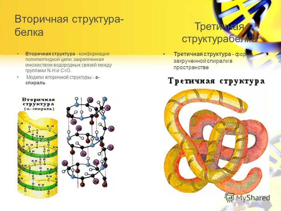 Вторичная структура- белка Вторичная структура - конформация полипептидной цепи, закрепленная множеством водородных связей между группами N-H и С=О. Модели вторичной структуры - a- спираль. Третичная структура - форма закрученной спирали в пространст