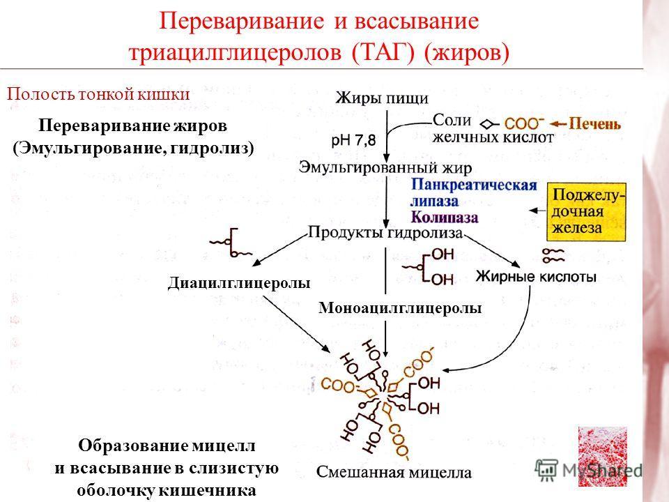 Переваривание и всасывание триацилглицеролов (ТАГ) (жиров) Полость тонкой кишки Переваривание жиров (Эмульгирование, гидролиз) Образование мицелл и всасывание в слизистую оболочку кишечника Диацилглицеролы Моноацилглицеролы
