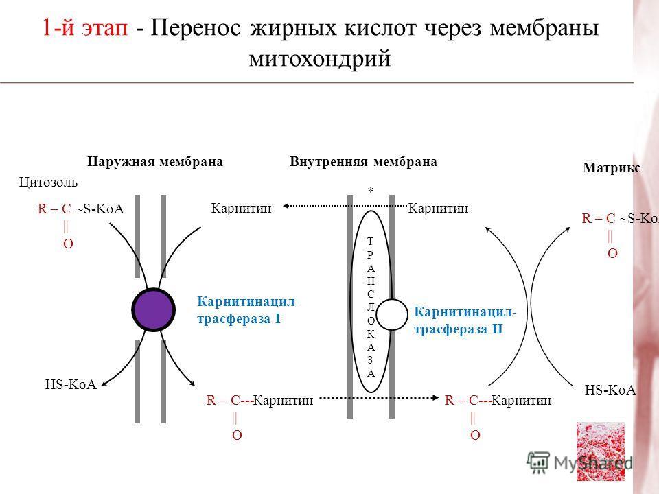 Наружная мембранаВнутренняя мембрана Цитозоль R – C ~S-KoA || O HS-KoA R – C--- || O R – C--- || O HS-KoA R – C ~S-KoA || O Карнитинацил- трасфераза I Карнитинацил- трасфераза II Карнитин Матрикс Карнитин 1-й этап - Перенос жирных кислот через мембра