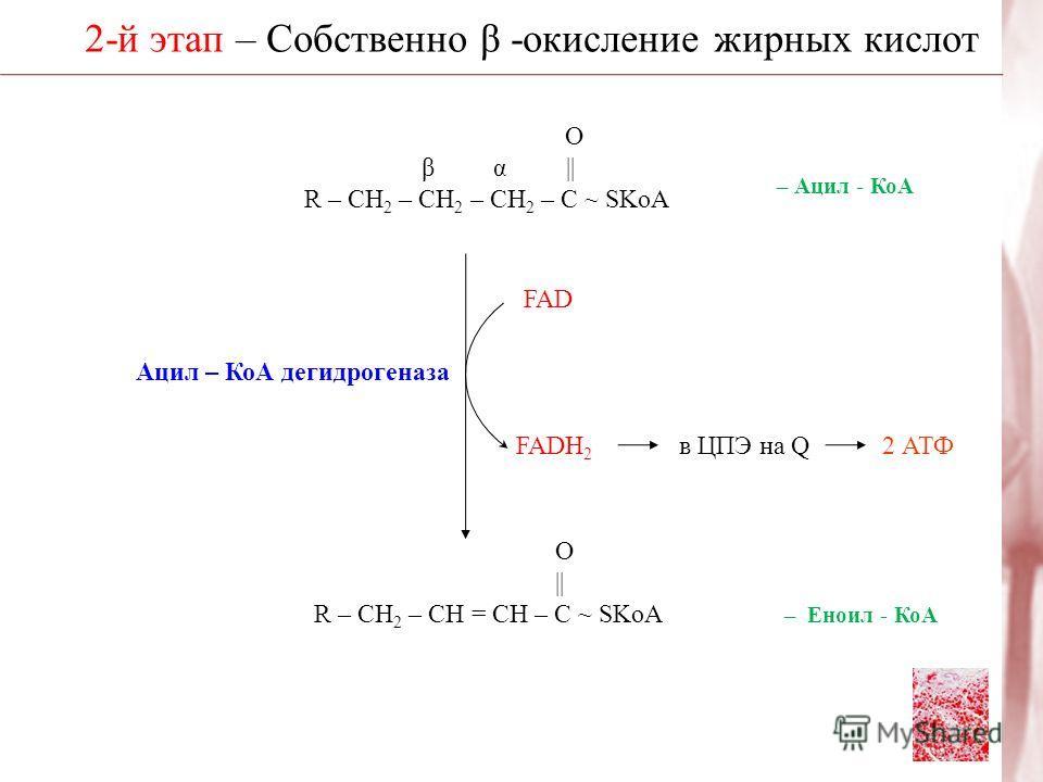 2-й этап – Собственно β -окисление жирных кислот О β α || R – CH 2 – CH 2 – CH 2 – C ~ SKoA Ацил – КоА дегидрогеназа О | R – CH 2 – CH = CH – C ~ SKoA – Ацил - КоА FAD FADH 2 в ЦПЭ на Q2 АТФ – Еноил - КоА