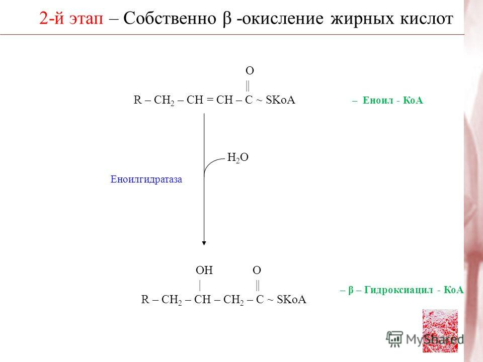 2-й этап – Собственно β -окисление жирных кислот Н2ОН2О ОН О | || R – CH 2 – CH – CH 2 – C ~ SKoA Еноилгидратаза О | R – CH 2 – CH = CH – C ~ SKoA – Еноил - КоА – β – Гидроксиацил - КоА