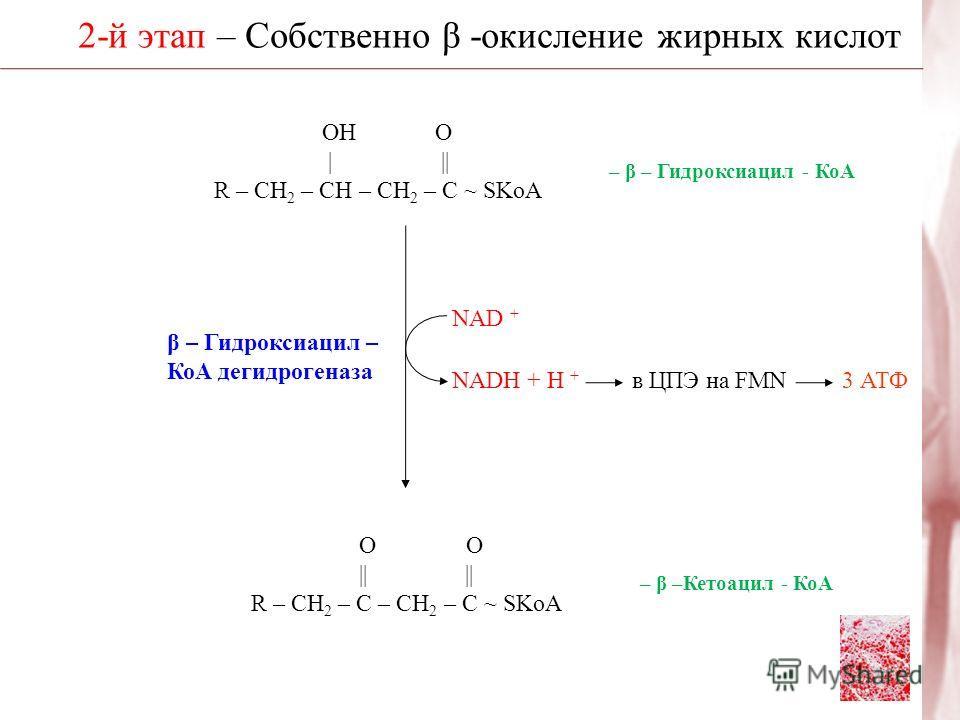 2-й этап – Собственно β -окисление жирных кислот β – Гидроксиацил – КоА дегидрогеназа О О || || R – CH 2 – C – CH 2 – C ~ SKoA ОН О | || R – CH 2 – CH – CH 2 – C ~ SKoA – β – Гидроксиацил - КоА NAD + NADH + H + в ЦПЭ на FMN3 АТФ – β –Кетоацил - КоА