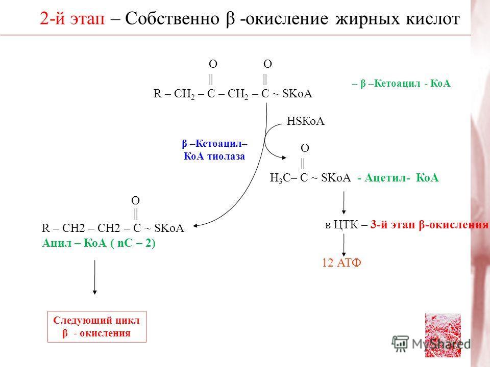 2-й этап – Собственно β -окисление жирных кислот β –Кетоацил– КоА тиолаза HSКоА Следующий цикл β - окисления О О || || R – CH 2 – C – CH 2 – C ~ SKoA – β –Кетоацил - КоА О || H 3 C– C ~ SKoA - Ацетил- КоА в ЦТК – 3-й этап β-окисления ЖК 12 АТФ || R –