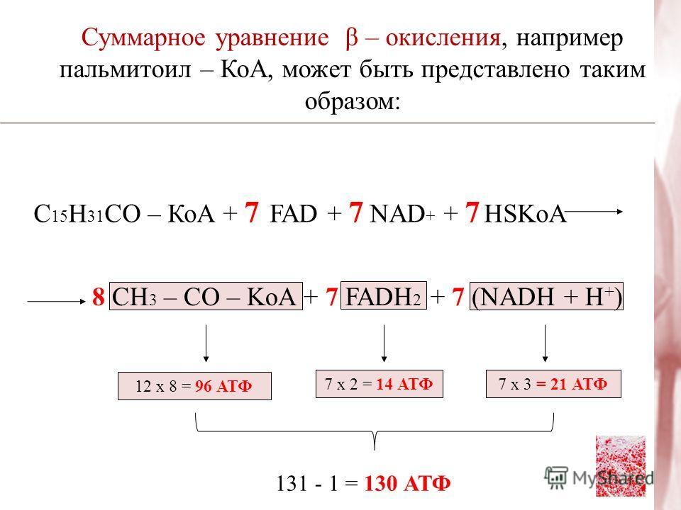 Суммарное уравнение β – окисления, например пальмитоил – КоА, может быть представлено таким образом: С 15 Н 31 СО – КоА + 7 FAD + 7 NAD + + 7 HSKoA 8 CH 3 – CO – KoA + 7 FADH 2 + 7 (NADH + H + ) 12 х 8 = 96 АТФ 7 х 2 = 14 АТФ7 х 3 = 21 АТФ 131 - 1 =