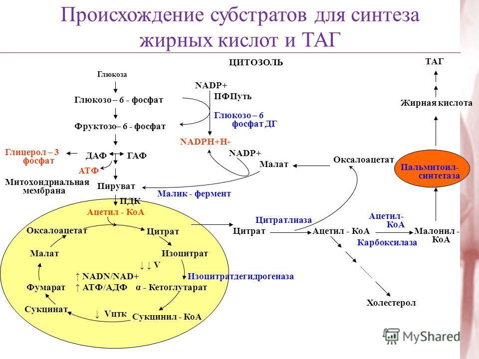 Происхождение субстратов для синтеза жирных кислот и ТАГ Глюкоза Глюкозо – 6 - фосфат Фруктозо– 6 - фосфат Глицерол – 3 фосфат NADP+ ПФПуть Глюкозо – 6 фосфат ДГ Пируват ДАФ ГАФ NADPН+Н + NADP+ Митохондриальная мембрана ПДК Малат АТФ Малик - фермент