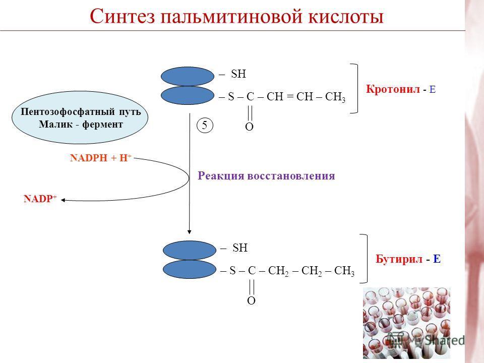 Синтез пальмитиновой кислоты – SH – S – C – CH = CН – CH 3 O Кротонил - Е Реакция восстановления 5 NADP + – SH – S – C – CH 2 – CН 2 – CH 3 O Бутирил - Е NADPH + H + Пентозофосфатный путь Малик - фермент