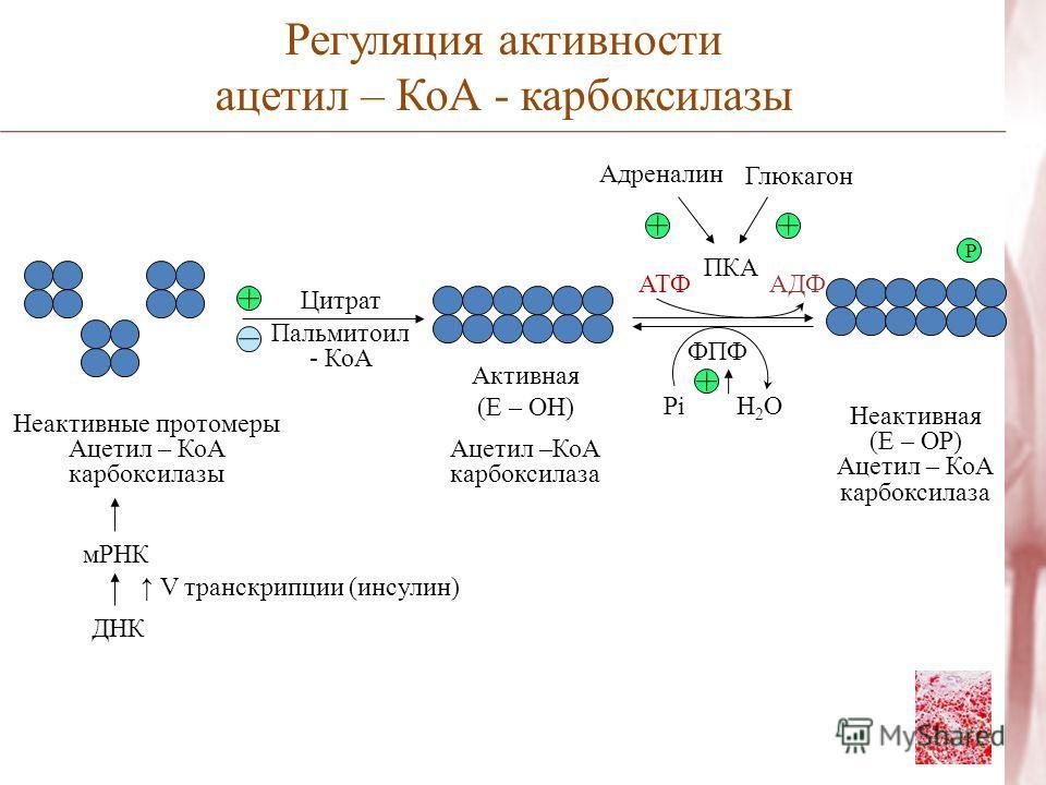 Цитрат Пальмитоил - КоА Неактивные протомеры Ацетил – КоА карбоксилазы мРНК ДНК V транскрипции (инсулин) Активная (Е – ОН) Ацетил –КоА карбоксилаза Неактивная (Е – ОР) Ацетил – КоА карбоксилаза Р Регуляция активности ацетил – КоА - карбоксилазы Адрен