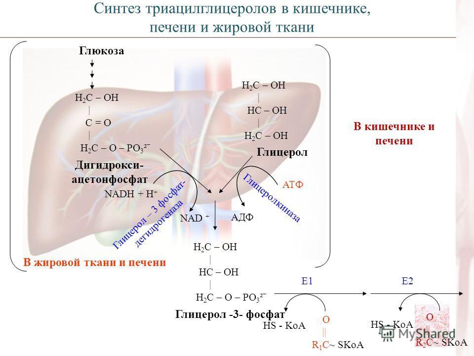 Глюкоза Н 2 С – ОН | С = О | Н 2 С – О – РО 3 ²ˉ Дигидрокси- ацетонфосфат NADH + H + NAD + Глицерол – 3 фосфат- дегидрогеназа Н 2 С – ОН | НС – ОН | Н 2 С – ОН Глицерол Глицеролкиназа АТФ АДФ В жировой ткани и печени Н 2 С – ОН | НС – ОН | Н 2 С – О