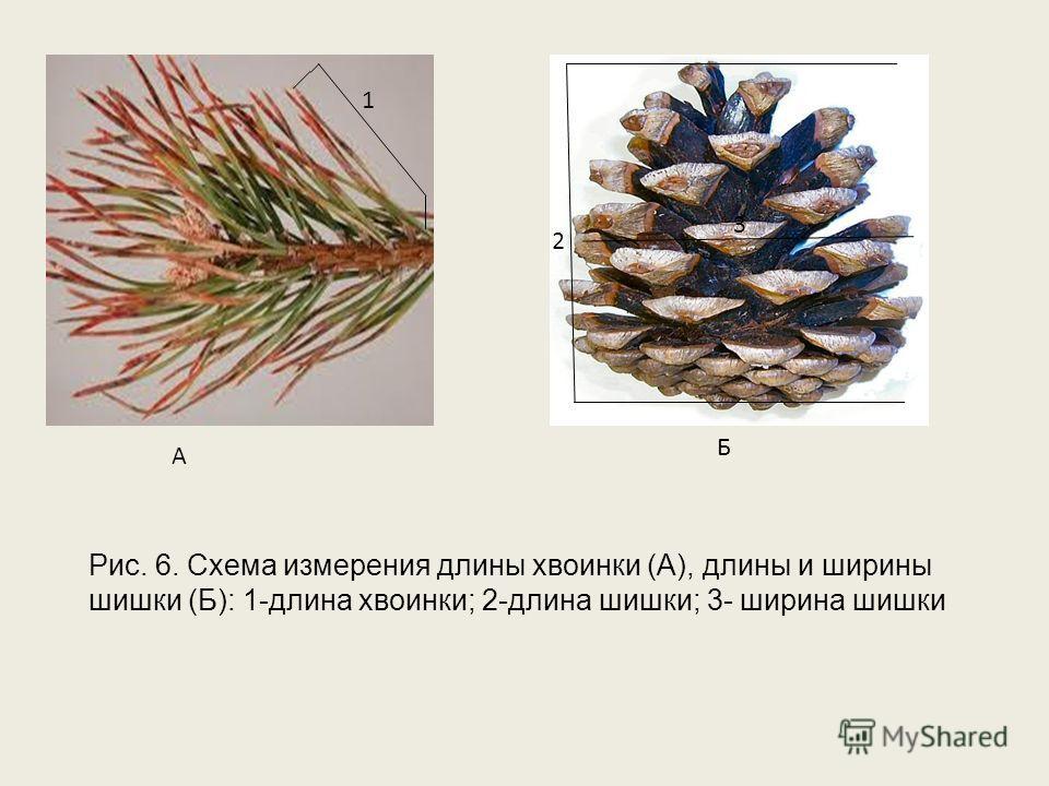 1 Б 3 2 А Рис. 6. Схема измерения длины хвоинки (А), длины и ширины шишки (Б): 1-длина хвоинки; 2-длина шишки; 3- ширина шишки