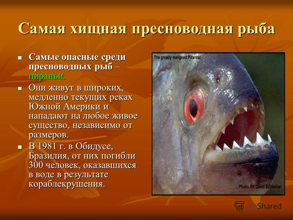 Самая хищная пресноводная рыба Самые опасные среди пресноводных рыб – пираньи. Самые опасные среди пресноводных рыб – пираньи. Они живут в широких, медленно текущих реках Южной Америки и нападают на любое живое существо, независимо от размеров. Они ж