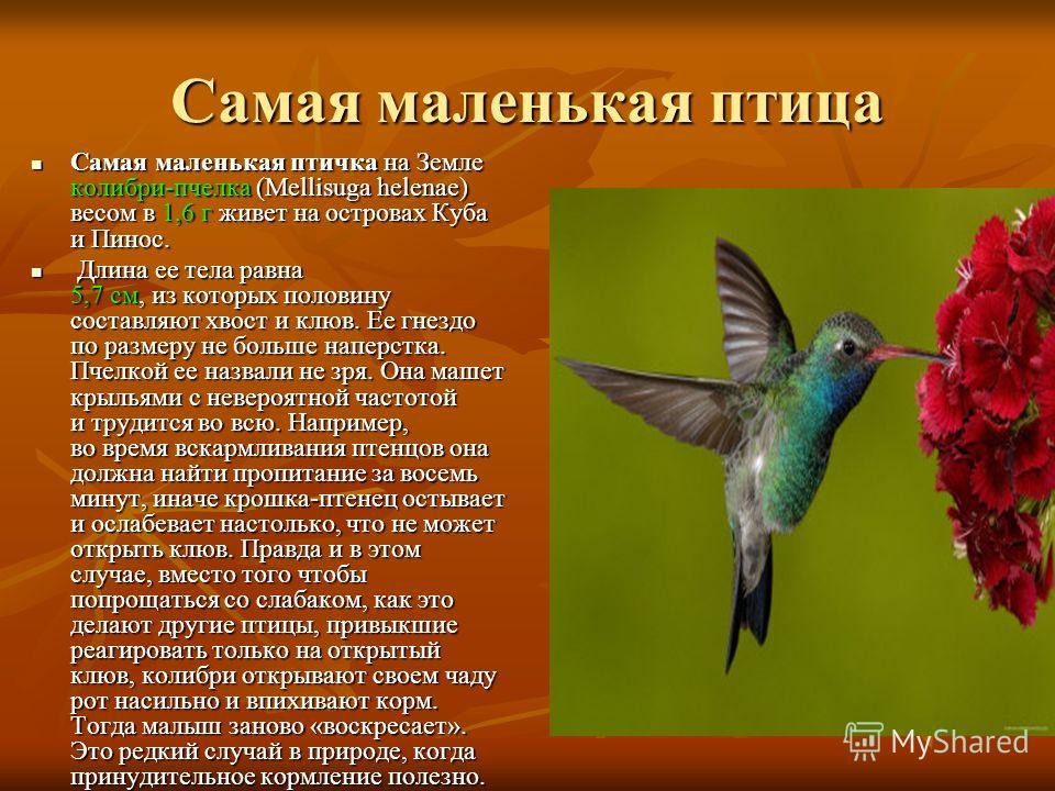Самая маленькая птица Самая маленькая птичка на Земле колибри-пчелка (Mellisuga helenae) весом в 1,6 г живет на островах Куба и Пинос. Самая маленькая птичка на Земле колибри-пчелка (Mellisuga helenae) весом в 1,6 г живет на островах Куба и Пинос. Дл