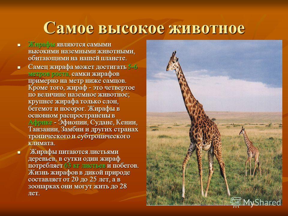 Самое высокое животное Жирафы являются самыми высокими наземными животными, обитающими на нашей планете. Жирафы являются самыми высокими наземными животными, обитающими на нашей планете. Самец жирафа может достигать 5-6 метров роста, самки жирафов пр