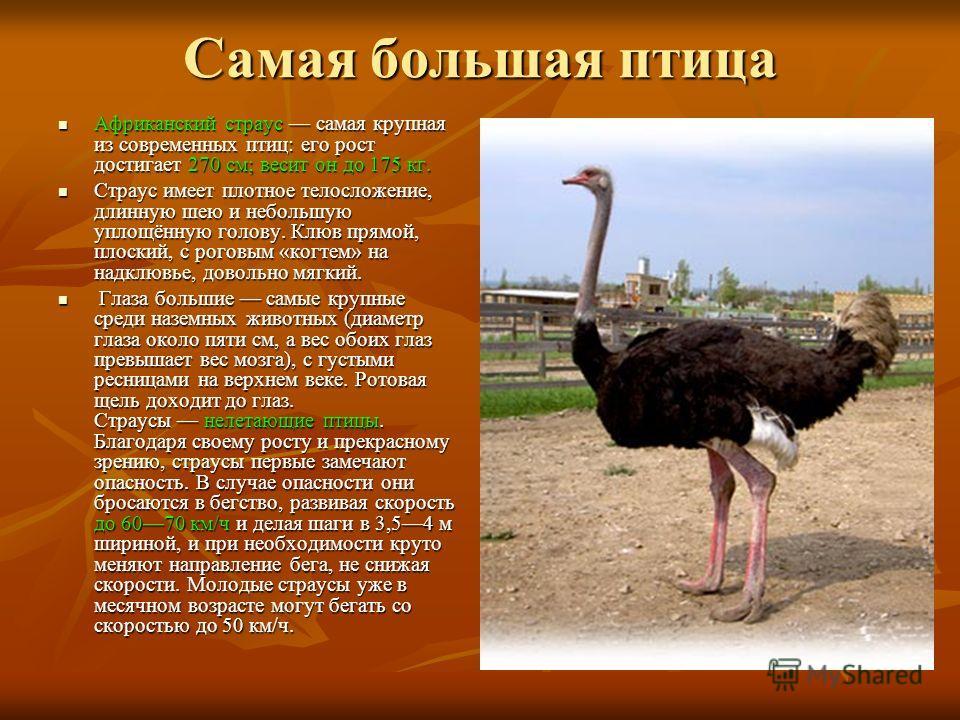 Самая большая птица Африканский страус самая крупная из современных птиц: его рост достигает 270 см; весит он до 175 кг. Африканский страус самая крупная из современных птиц: его рост достигает 270 см; весит он до 175 кг. Страус имеет плотное телосло