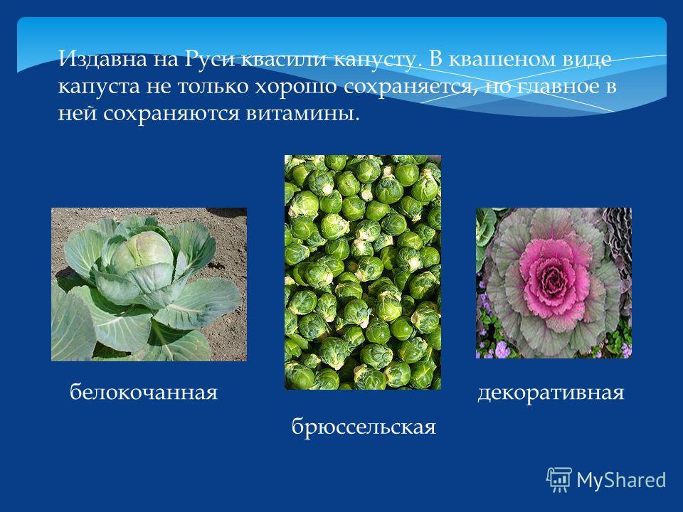 Издавна на Руси квасили капусту. В квашеном виде капуста не только хорошо сохраняется, но главное в ней сохраняются витамины. белокочанная брюссельская декоративная