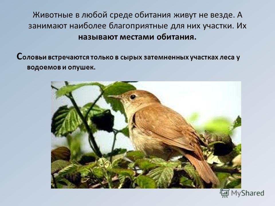 Животные в любой среде обитания живут не везде. А занимают наиболее благоприятные для них участки. Их называют местами обитания. С оловьи встречаются только в сырых затемненных участках леса у водоемов и опушек.