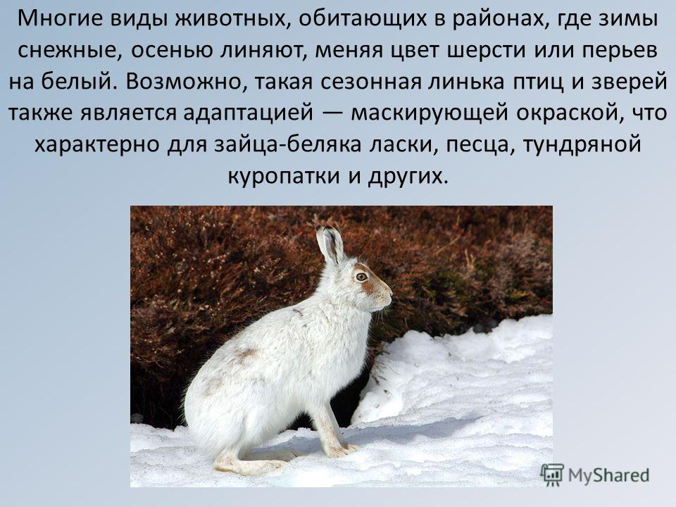 Многие виды животных, обитающих в районах, где зимы снежные, осенью линяют, меняя цвет шерсти или перьев на белый. Возможно, такая сезонная линька птиц и зверей также является адаптацией маскирующей окраской, что характерно для зайца-беляка ласки, пе