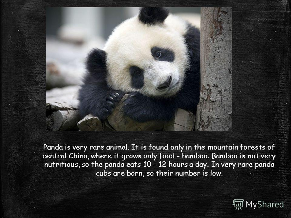 Panda is very rare animal. It is found only in the mountain forests of central China, where it grows only food - bamboo. Bamboo is not very nutritious, so the panda eats 10 - 12 hours a day. In very rare panda cubs are born, so their number is low.