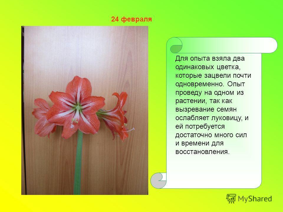 Для опыта взяла два одинаковых цветка, которые зацвели почти одновременно. Опыт проведу на одном из растении, так как вызревание семян ослабляет луковицу, и ей потребуется достаточно много сил и времени для восстановления. 24 февраля