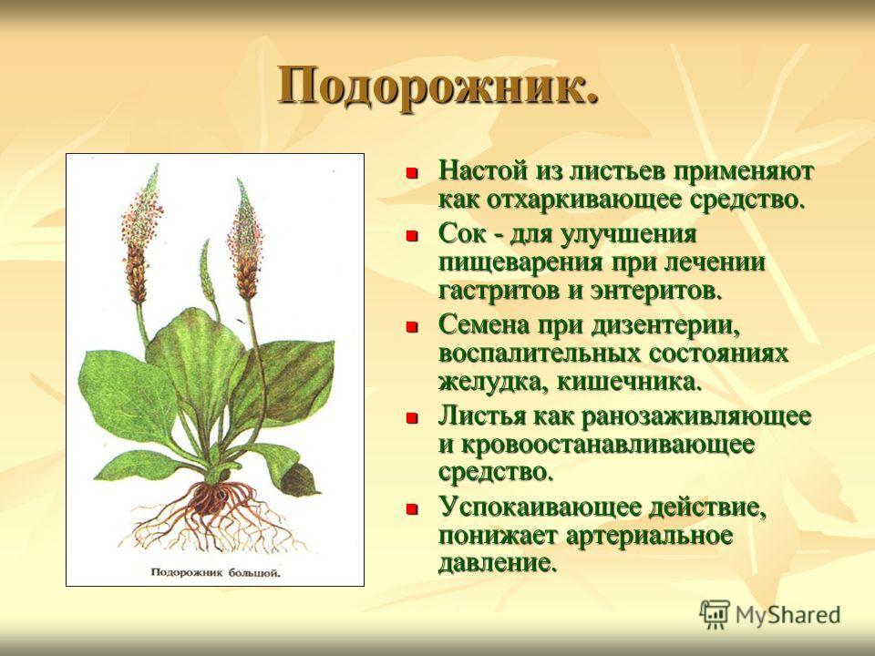 Подорожник. Настой из листьев применяют как отхаркивающее средство. Настой из листьев применяют как отхаркивающее средство. Сок - для улучшения пищеварения при лечении гастритов и энтеритов. Сок - для улучшения пищеварения при лечении гастритов и энт