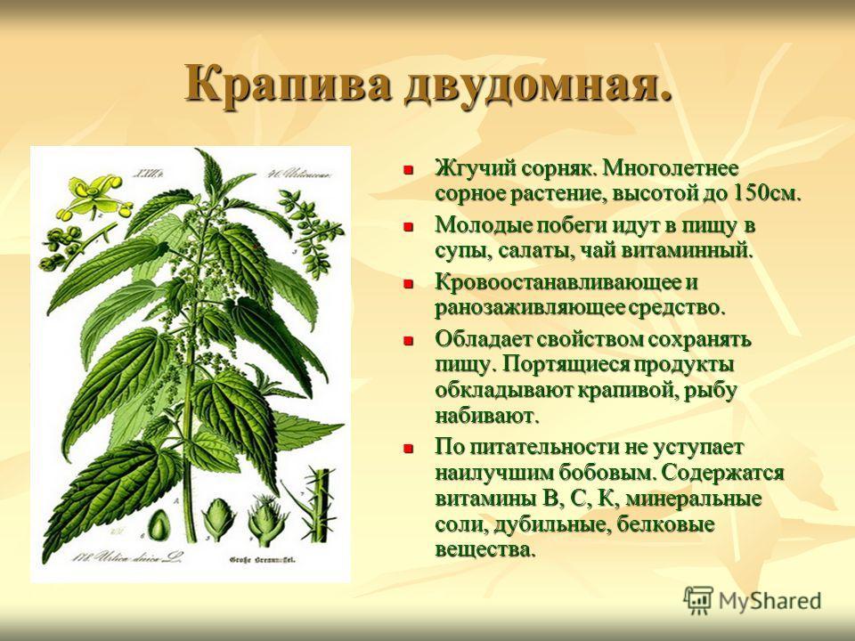 Крапива двудомная. Жгучий сорняк. Многолетнее сорное растение, высотой до 150см. Жгучий сорняк. Многолетнее сорное растение, высотой до 150см. Молодые побеги идут в пищу в супы, салаты, чай витаминный. Молодые побеги идут в пищу в супы, салаты, чай в