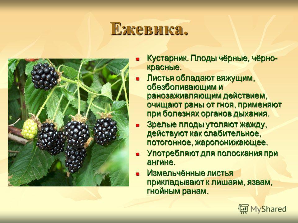 Ежевика. Кустарник. Плоды чёрные, чёрно- красные. Кустарник. Плоды чёрные, чёрно- красные. Листья обладают вяжущим, обезболивающим и ранозаживляющим действием, очищают раны от гноя, применяют при болезнях органов дыхания. Листья обладают вяжущим, обе