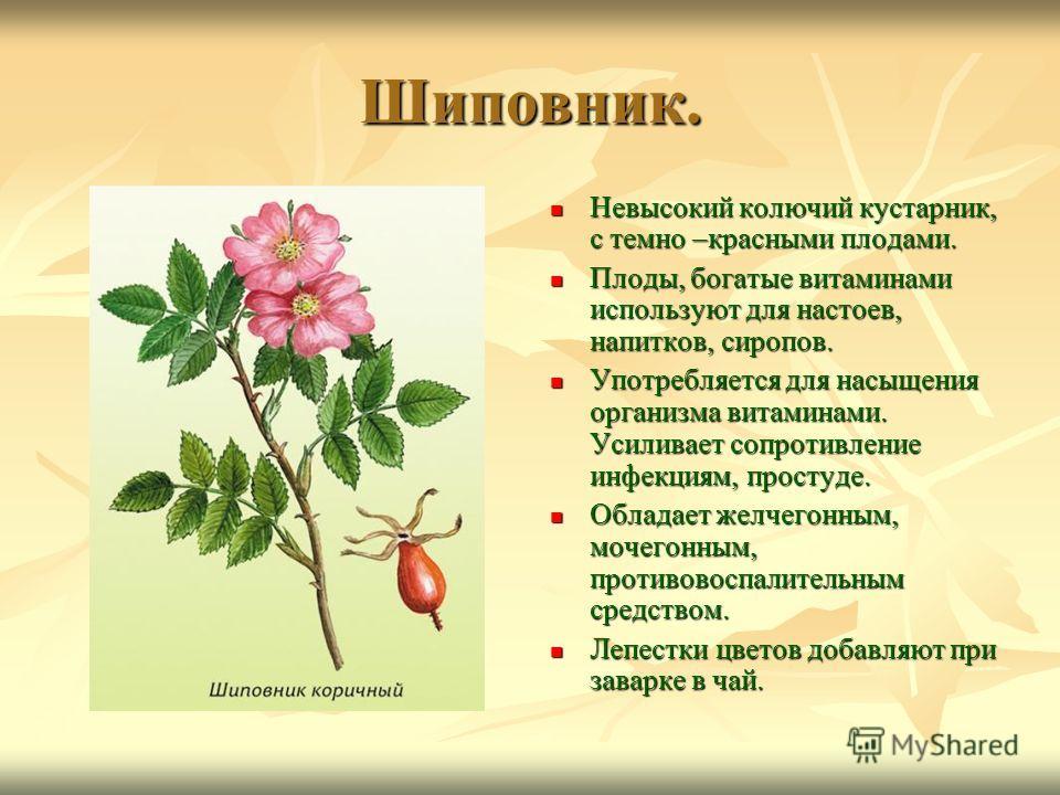 Шиповник. Невысокий колючий кустарник, с темно –красными плодами. Невысокий колючий кустарник, с темно –красными плодами. Плоды, богатые витаминами используют для настоев, напитков, сиропов. Плоды, богатые витаминами используют для настоев, напитков,