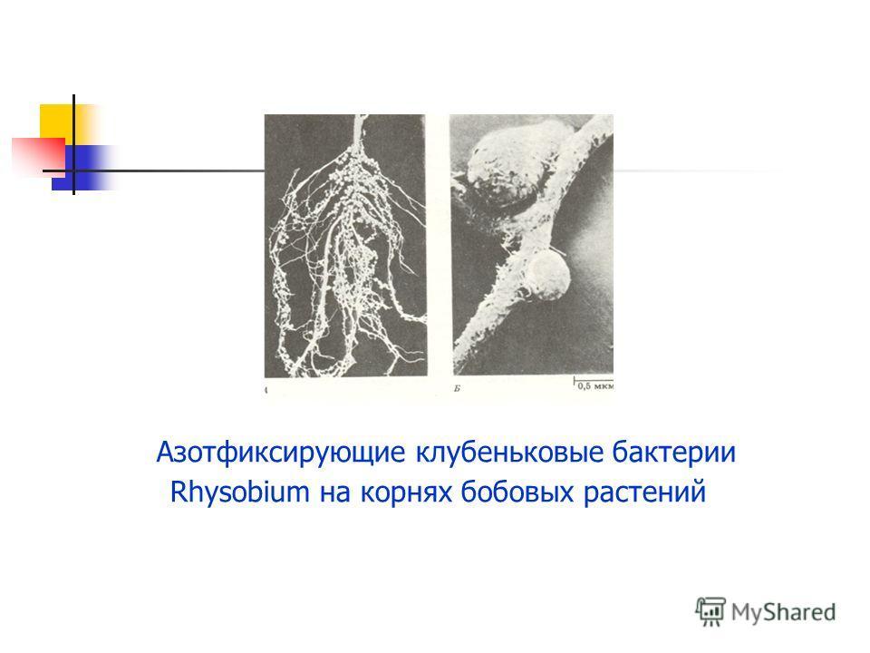 Азотфиксирующие клубеньковые бактерии Rhysobium на корнях бобовых растений