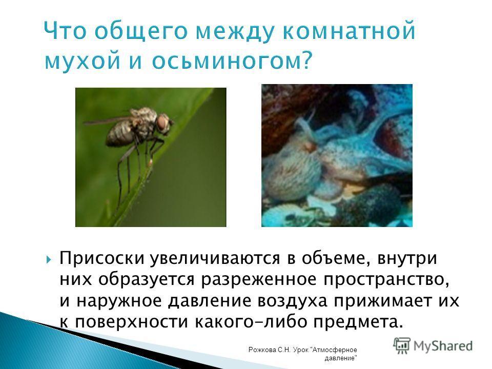 Что общего между комнатной мухой и осьминогом? Присоски увеличиваются в объеме, внутри них образуется разреженное пространство, и наружное давление воздуха прижимает их к поверхности какого-либо предмета. Рожкова С.Н. Урок Атмосферное давление