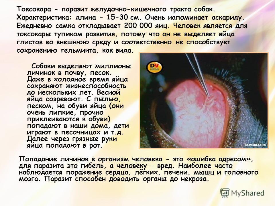 Токсокара - паразит желудочно-кишечного тракта собак. Характеристика: длина - 15-30 см. Очень напоминает аскариду. Ежедневно самка откладывает 200 000 яиц. Человек является для токсокары тупиком развития, потому что он не выделяет яйца глистов во вне