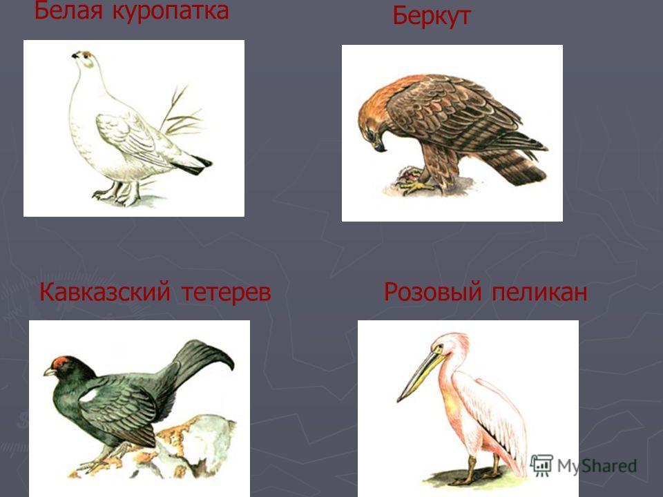Белая куропатка Беркут Кавказский тетеревРозовый пеликан