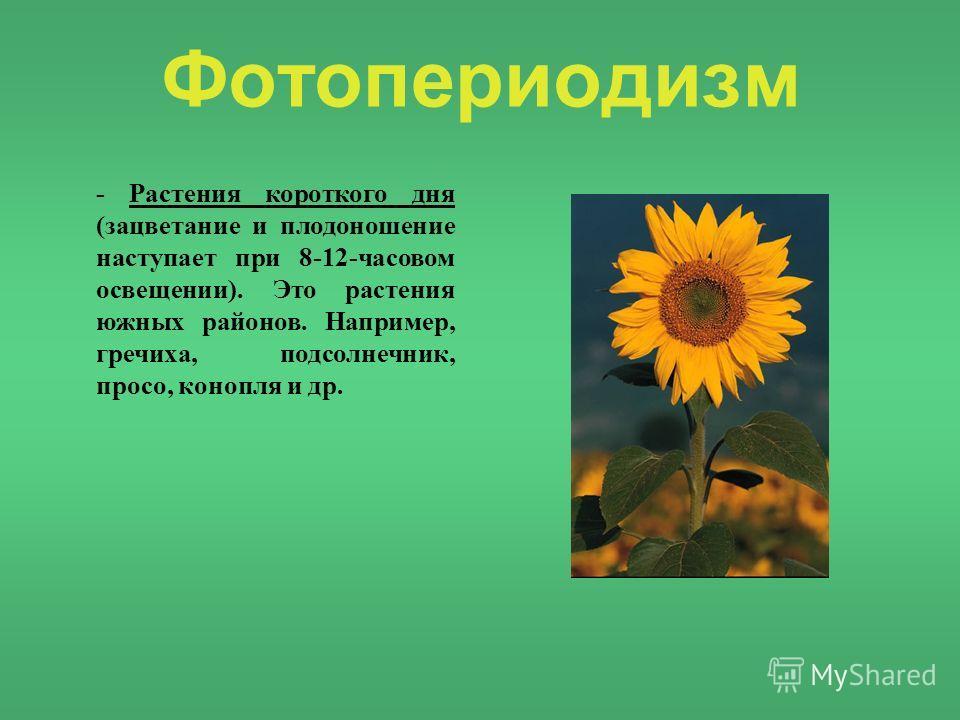 Фотопериодизм - Растения короткого дня (зацветание и плодоношение наступает при 8-12-часовом освещении). Это растения южных районов. Например, гречиха, подсолнечник, просо, конопля и др.