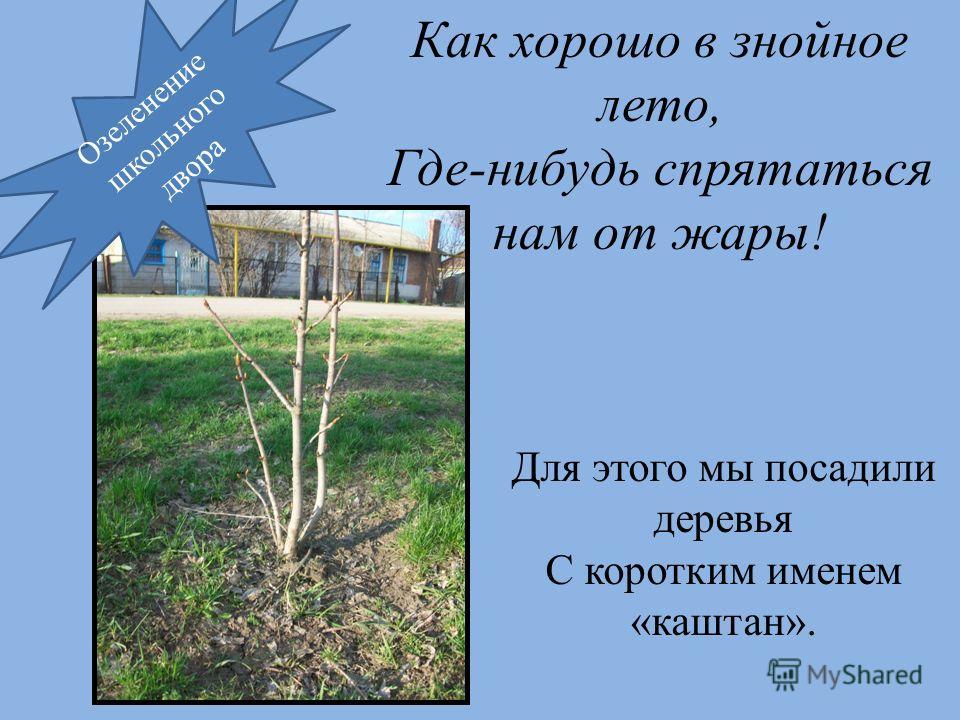Как хорошо в знойное лето, Где-нибудь спрятаться нам от жары! Для этого мы посадили деревья С коротким именем «каштан». Озеленение школьного двора