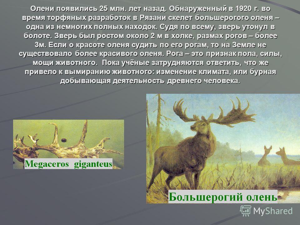 Олени появились 25 млн. лет назад. Обнаруженный в 1920 г. во время торфяных разработок в Рязани скелет большерогого оленя – одна из немногих полных находок. Судя по всему, зверь утонул в болоте. Зверь был ростом около 2 м в холке, размах рогов – боле