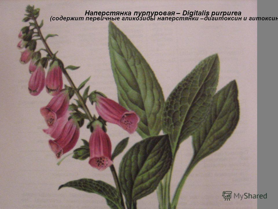 Наперстянка пурпуровая – Digitalis purpurea (содержит первичные гликозиды наперстянки –дигитоксин и гитоксин