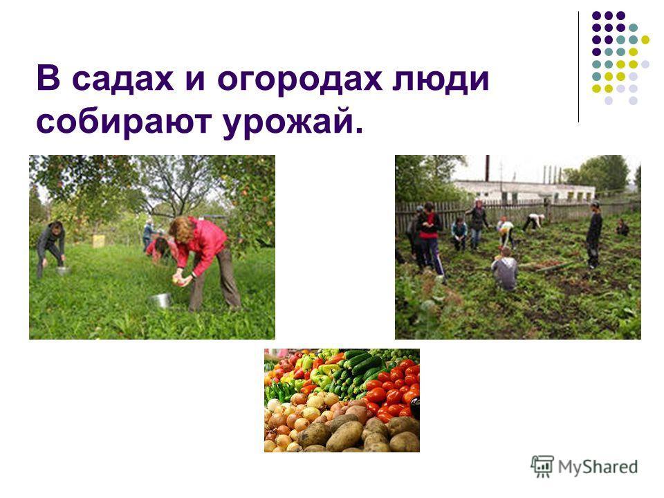 В садах и огородах люди собирают урожай.