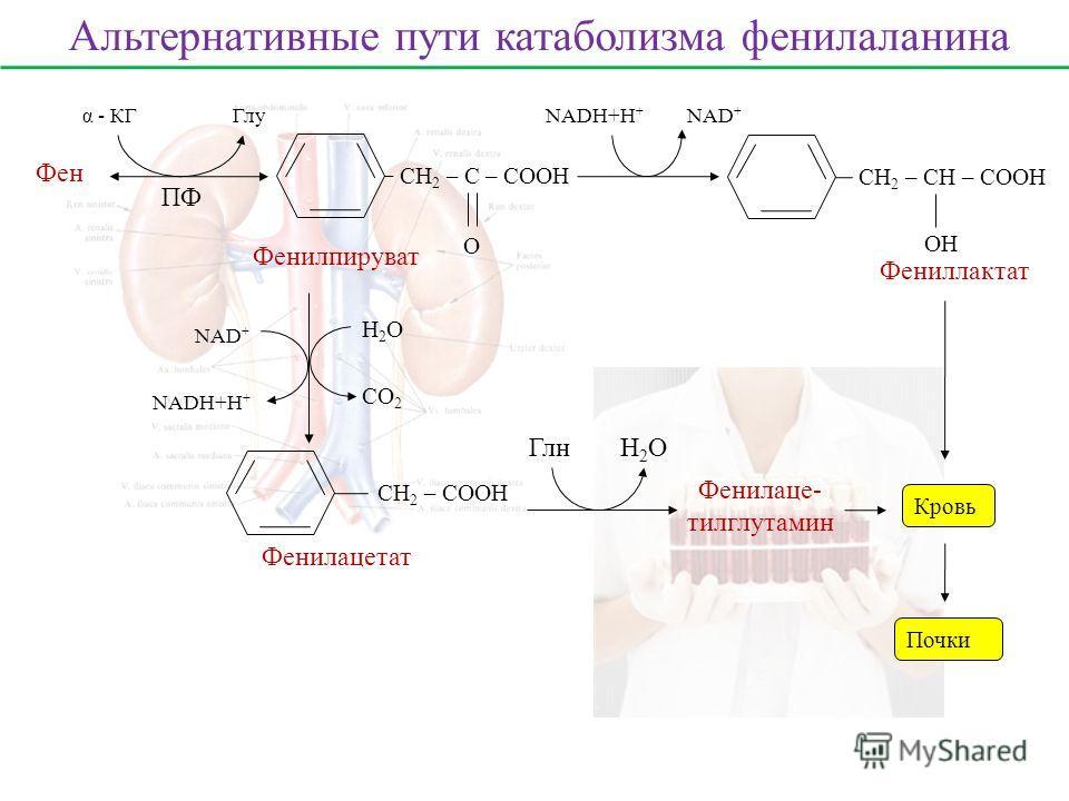 Фен ПФ α - КГГлу СН 2 – С – СООН О Фенилпируват СН 2 – СН – СООН ОH Фениллактат Кровь Почки NADH+H + NAD + СН 2 – СООН Фенилацетат H2OH2O СО 2 NADH+H + NAD + Фенилаце- тилглутамин H2OH2OГлн Альтернативные пути катаболизма фенилаланина
