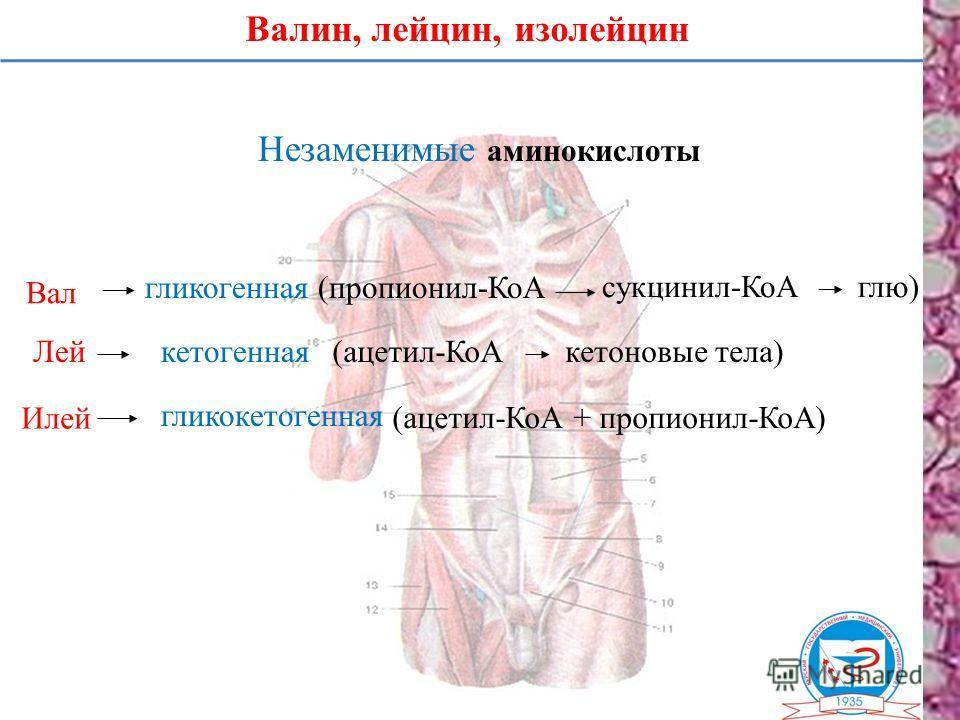 Валин, лейцин, изолейцин Незаменимые аминокислоты Вал Лей Илей гликогенная (пропионил-КоА сукцинил-КоАглю) кетогенная гликокетогенная (ацетил-КоА + пропионил-КоА) (ацетил-КоАкетоновые тела)