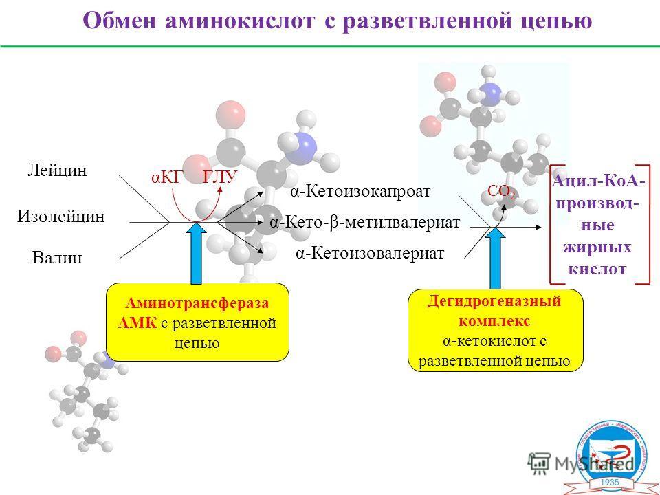 Обмен аминокислот с разветвленной цепью Лейцин Изолейцин Валин α-Кетоизокапроат α-Кето-β-метилвалериат α-Кетоизовалериат Ацил-КоА- производ- ные жирных кислот CО 2 αКГГЛУ Аминотрансфераза АМК с разветвленной цепью Дегидрогеназный комплекс α-кетокисло