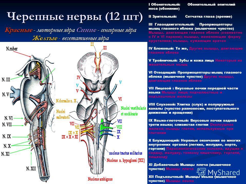 Черепные нервы (12 шт) Красные - моторные ядра Синие - сенсорные ядра Желтые - вегетативные ядра I Обонятельный: Обонятельный эпителий носа (обоняние) II Зрительный: Сетчатка глаза (зрение) III Глазодвигательный: Проприоцепторы мышц глазного яблока (