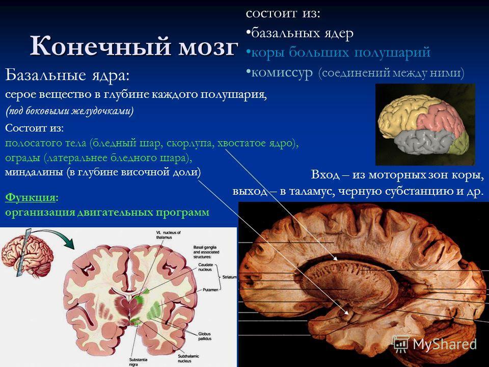 Конечный мозг состоит из: базальных ядер коры больших полушарий комиссур (соединений между ними) Вход – из моторных зон коры, выход – в таламус, черную субстанцию и др. Базальные ядра: серое вещество в глубине каждого полушария, ( под боковыми желудо