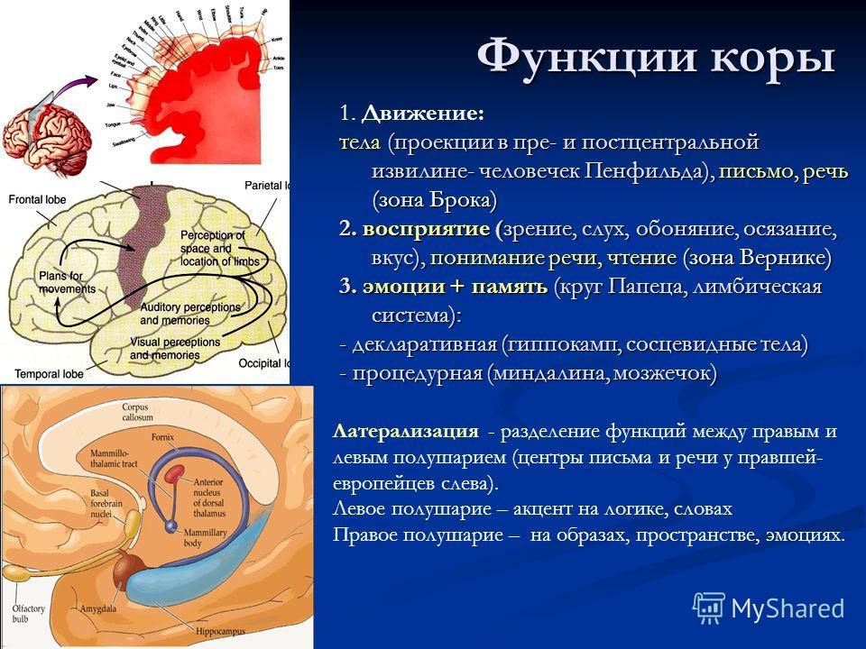Функции коры 1. Движение: тела (проекции в пре- и постцентральной извилине- человечек Пенфильда), письмо, речь (зона Брока) 2. восприятие (зрение, слух, обоняние, осязание, вкус), понимание речи, чтение (зона Вернике) 3. эмоции + память (круг Папеца,