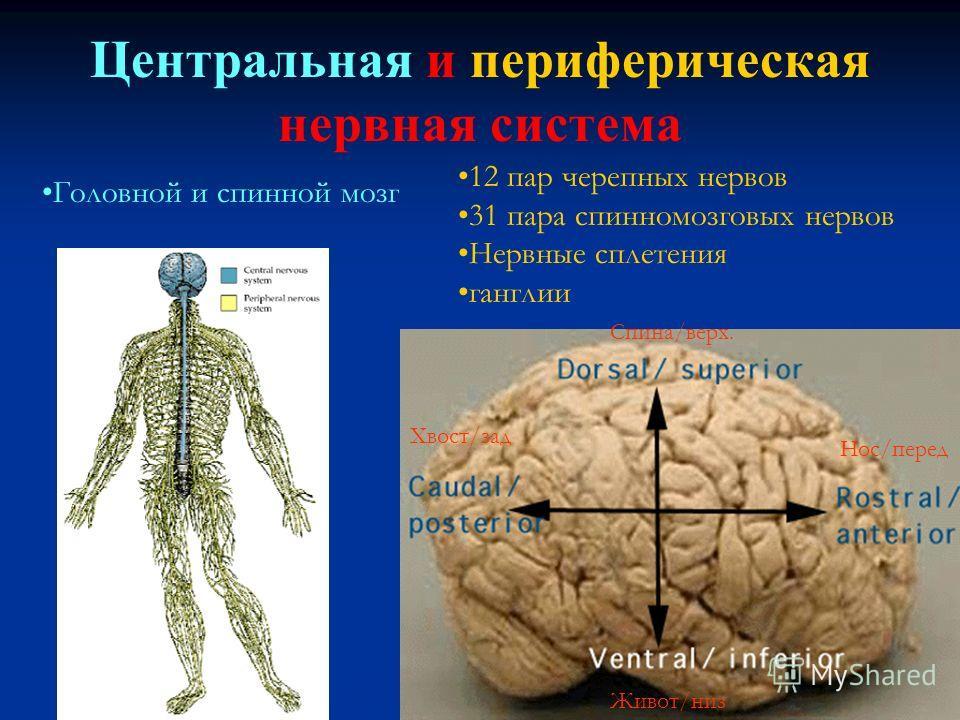 Центральная и периферическая нервная система 12 пар черепных нервов 31 пара спинномозговых нервов Нервные сплетения ганглии Спина/верх. Хвост/зад Живот/низ Нос/перед Головной и спинной мозг