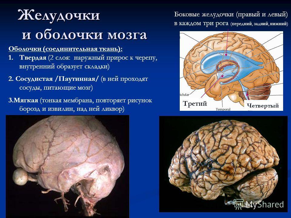 Желудочки и оболочки мозга Боковые желудочки (правый и левый) в каждом три рога (передний, задний, нижний) Третий Четвертый Оболочки (соединительная ткань): 1.Твердая (2 слоя: наружный прирос к черепу, внутренний образует складки) 2. Сосудистая /Паут