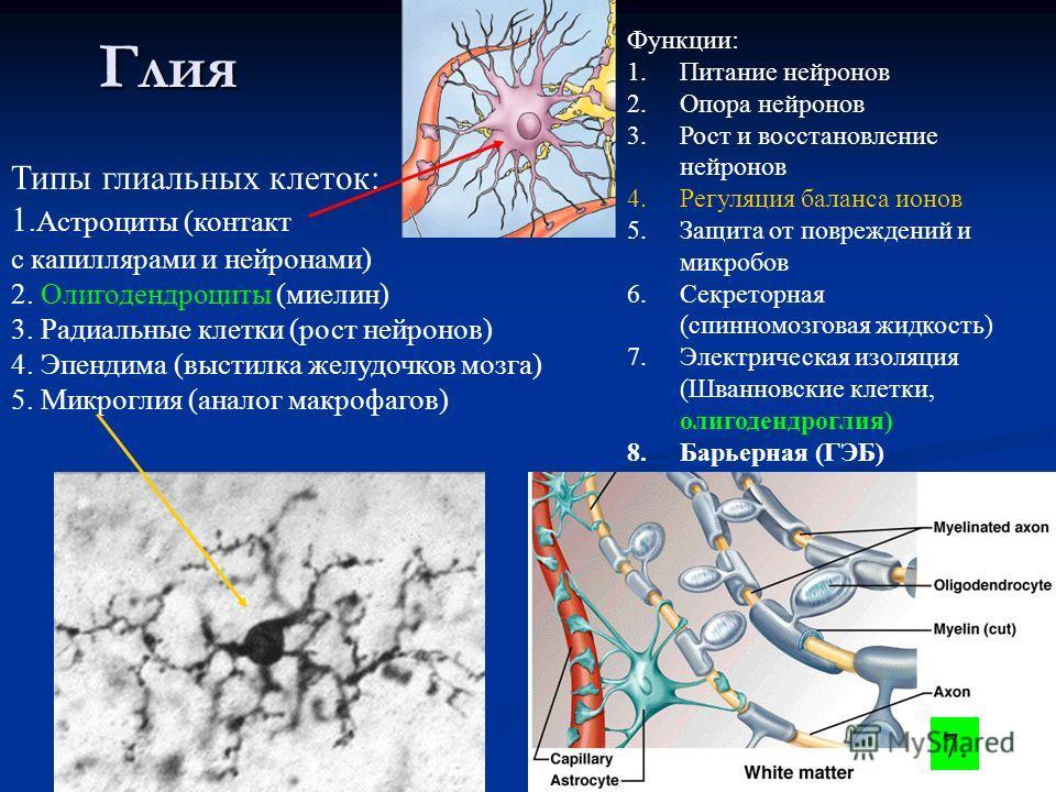 Глия Типы глиальных клеток: 1.Астроциты (контакт с капиллярами и нейронами) 2. Олигодендроциты (миелин) 3. Радиальные клетки (рост нейронов) 4. Эпендима (выстилка желудочков мозга) 5. Микроглия (аналог макрофагов) Функции: 1.Питание нейронов 2.Опора